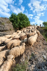 Sheep on a hillside